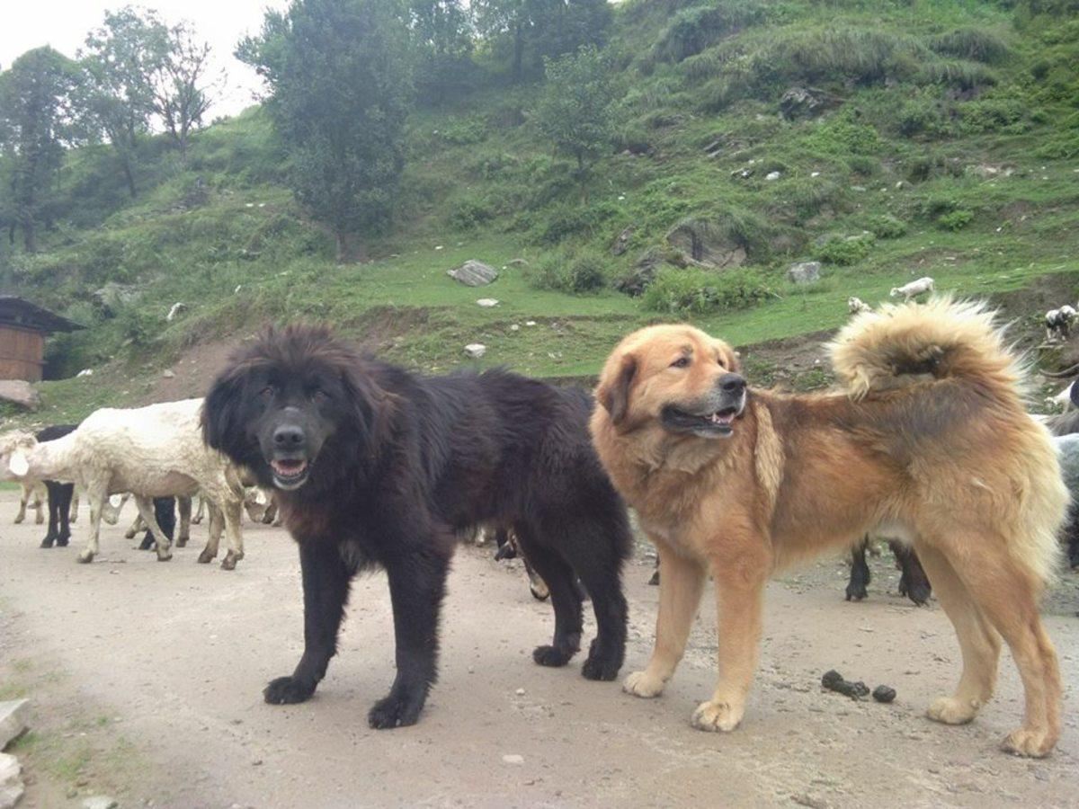 dogs-like-tibetan-mastiff