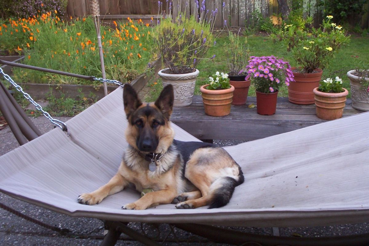 The herding and protective German Shepherd always, even if she appears to be relaxing..