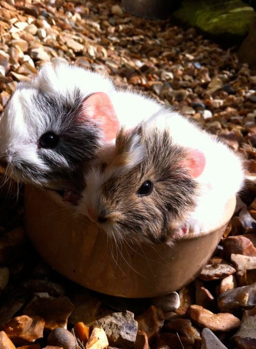 Baby Peruvian guinea pigs.