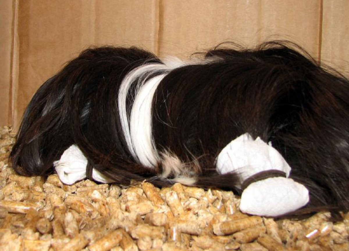 Many owners use hair wraps between shows to keep a Peruvian guinea pig's long hair from getting matted or dirty.