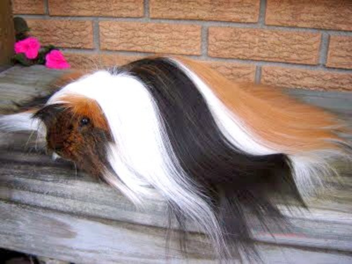 An example of the long hair cultivated by show Peruvian breeders.