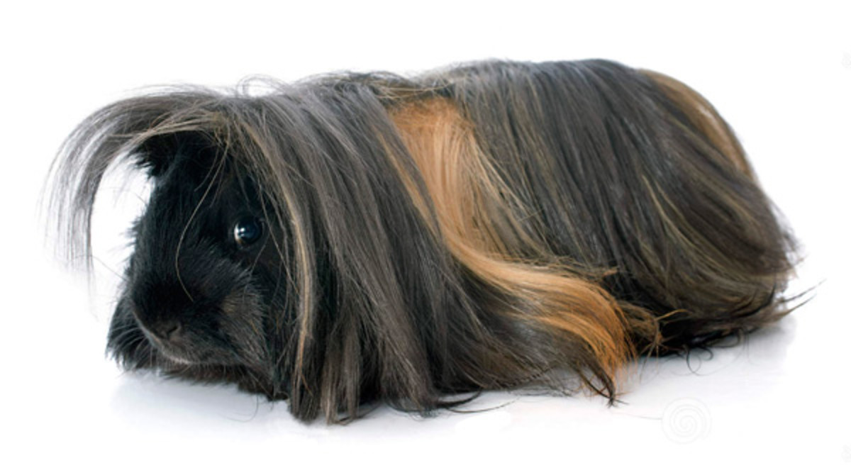 This Peruvian guinea pig is ready for a new haircut. Trimmed hair should fall to the feet but not beyond, otherwise the hair can get wet and dirty.