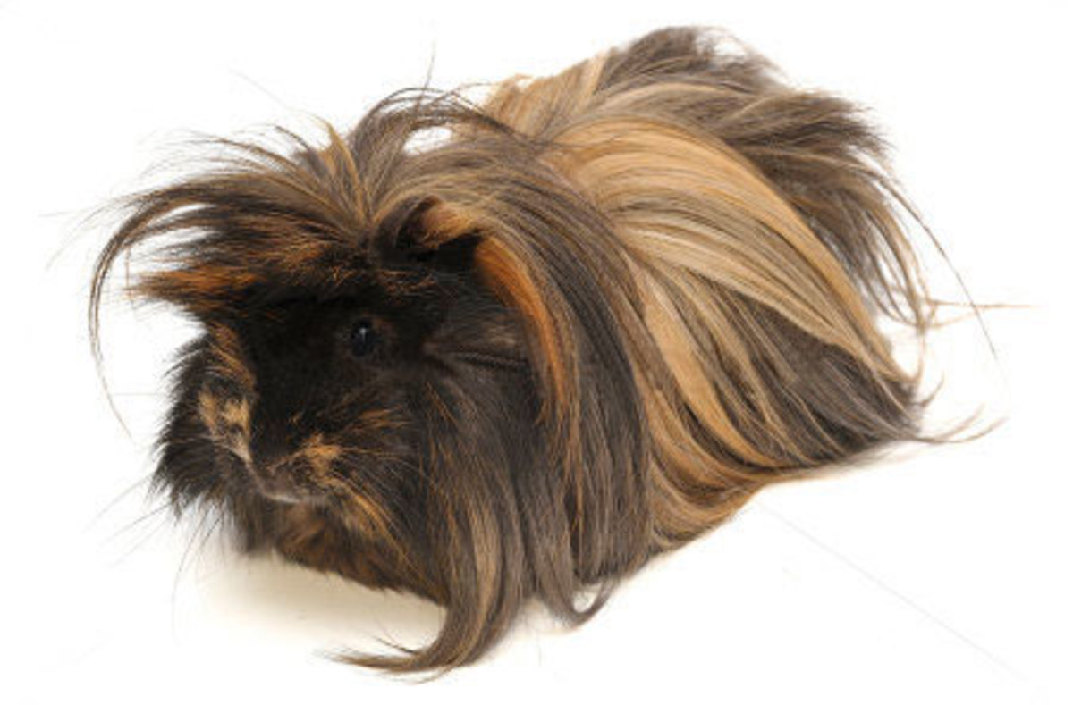 A varied and healthy diet will keep your Peruvian's hair looking healthy, which, along with a nice haircut, makes for a happy pet!