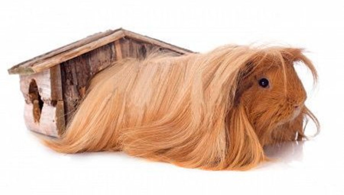An alert and active guinea pig with a healthy coat shows that you're doing the right thing.