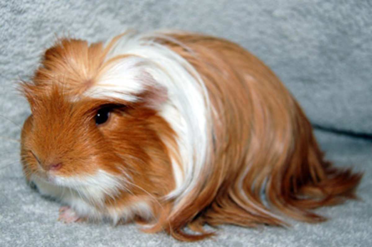 A Peruvian guinea pig with a natural coronet.