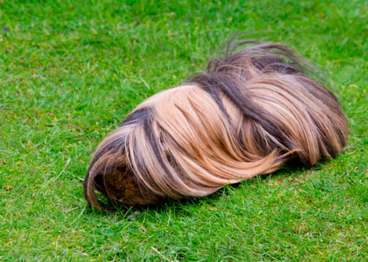 One food Peruvian guinea pigs can't live without is fresh grass.