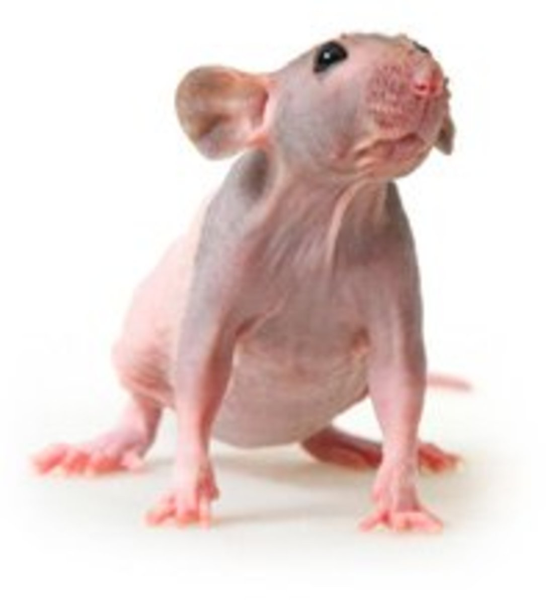 Hairless rats are awesome pets guys!
