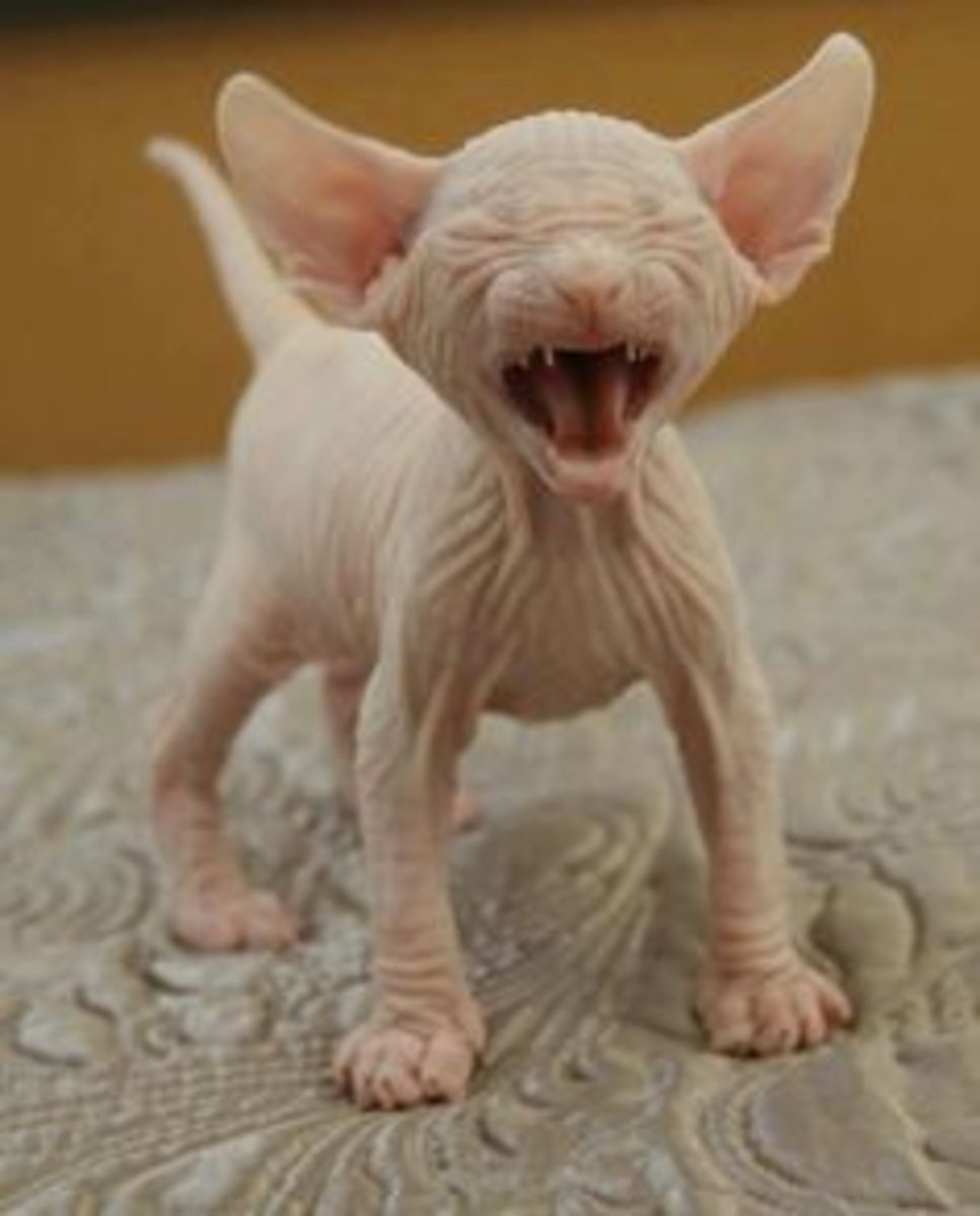 D'awww!! A hairless kitten! (sphynx cat)