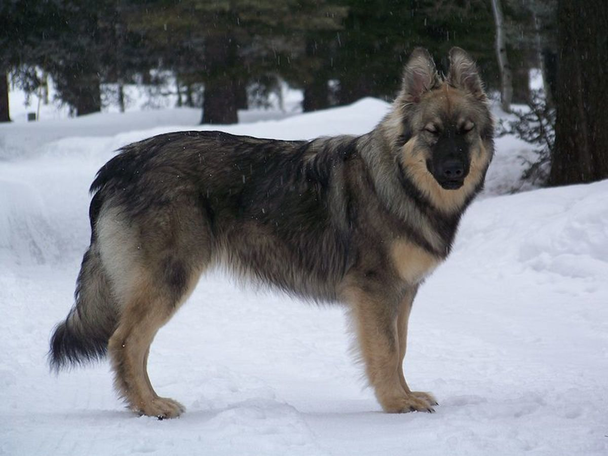 Since the breed is still new, not all American Alsatians look like the one pictured.