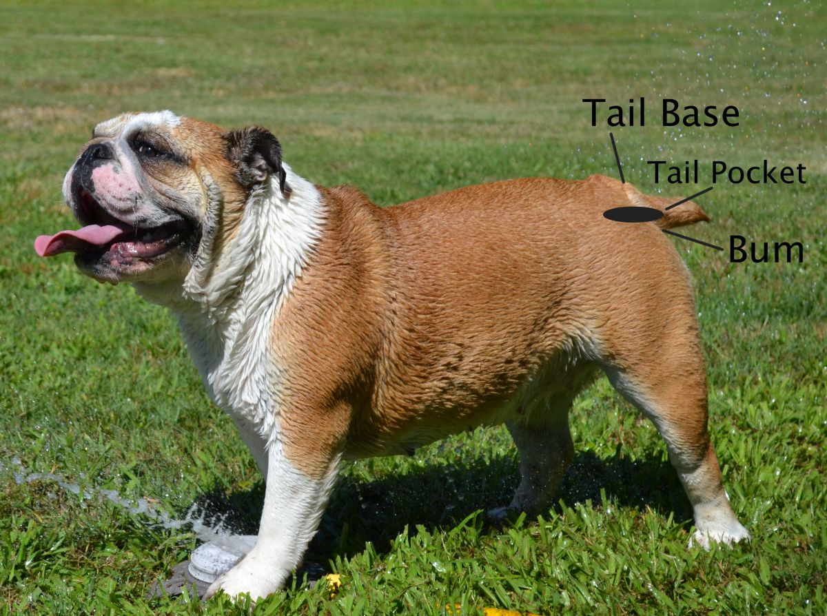 Know where to look for the bulldog's tail pocket.