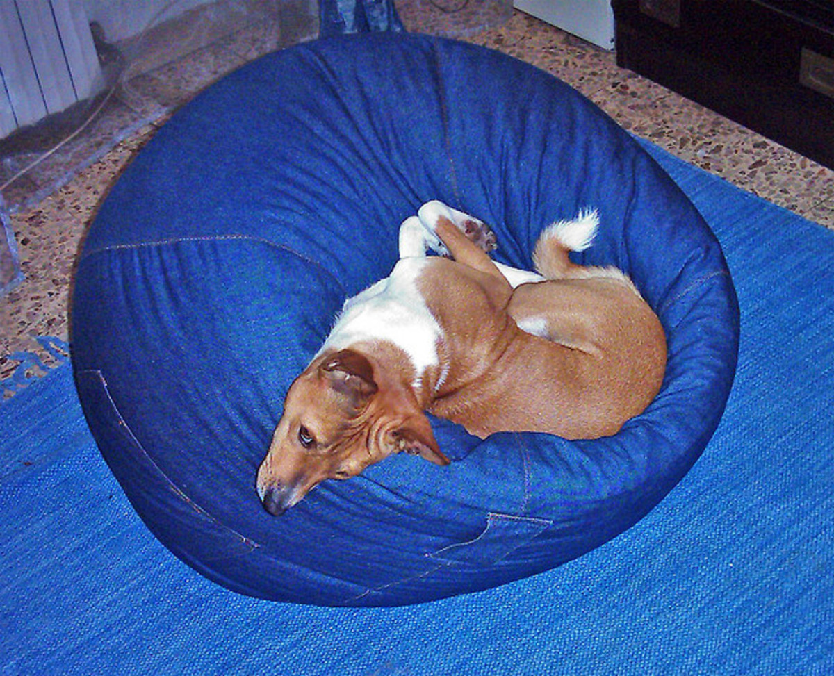 Basenji sleeping on a bean bag.
