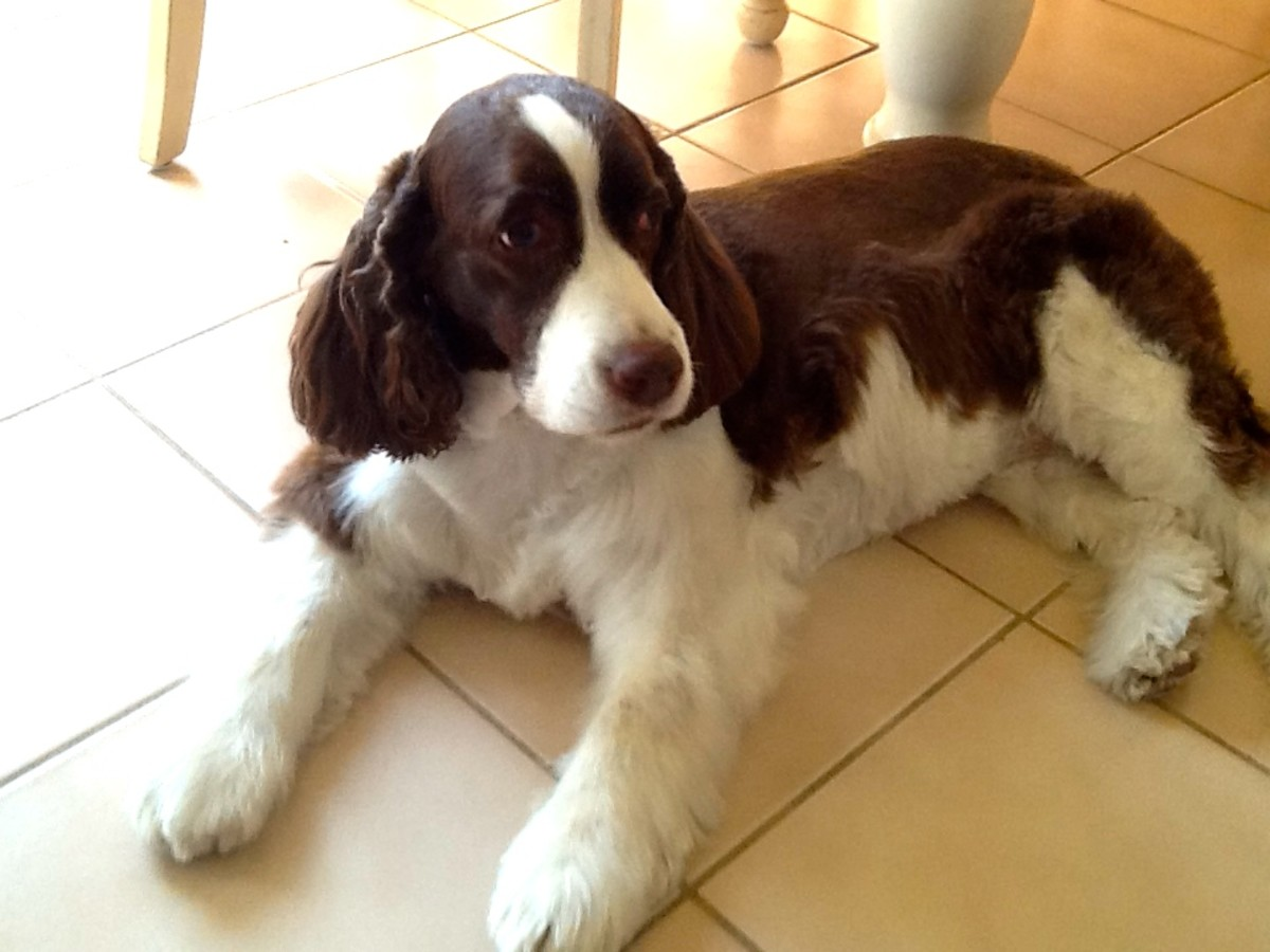 English Springer Spaniels: Good at Making You Feel Guilty