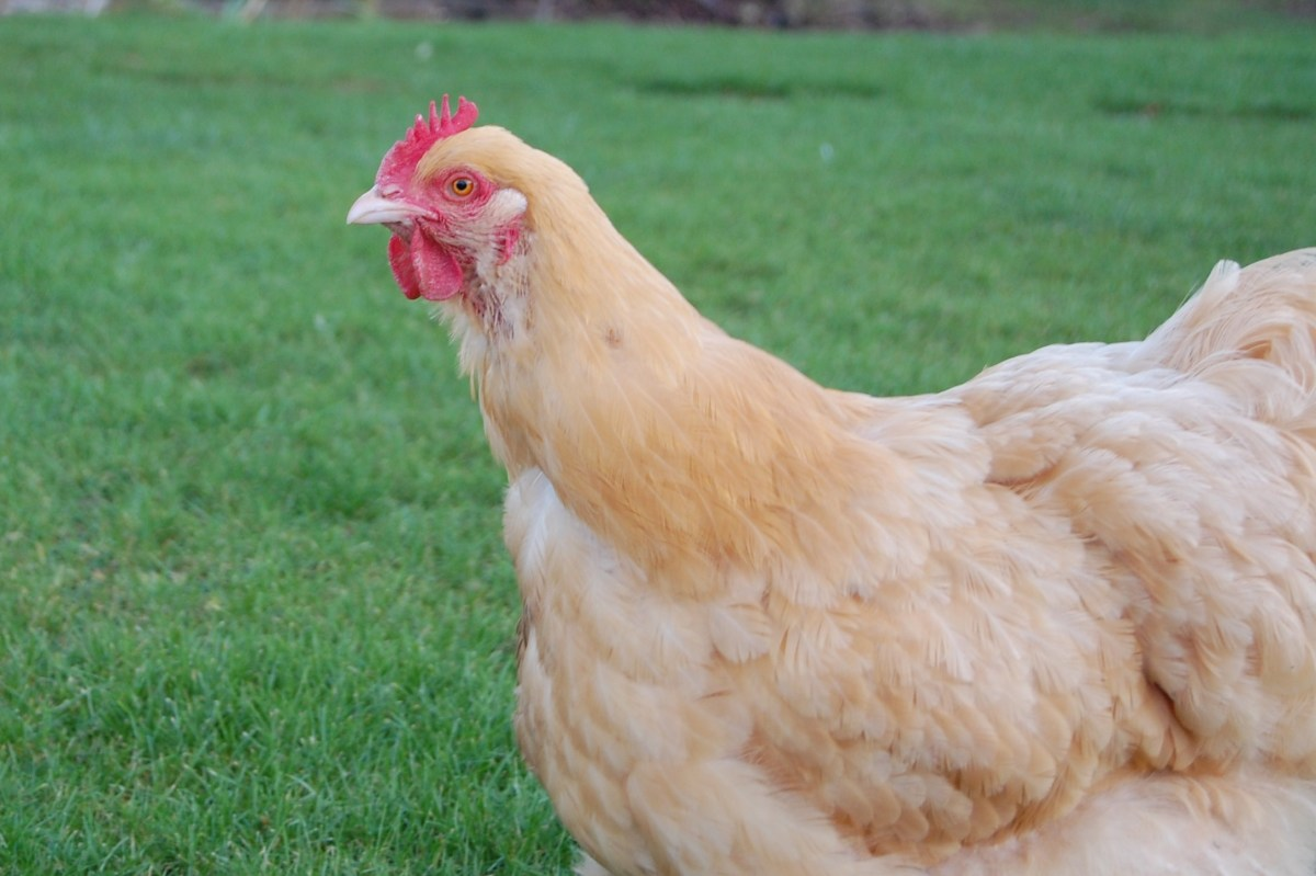 A Buff Orpington hen.