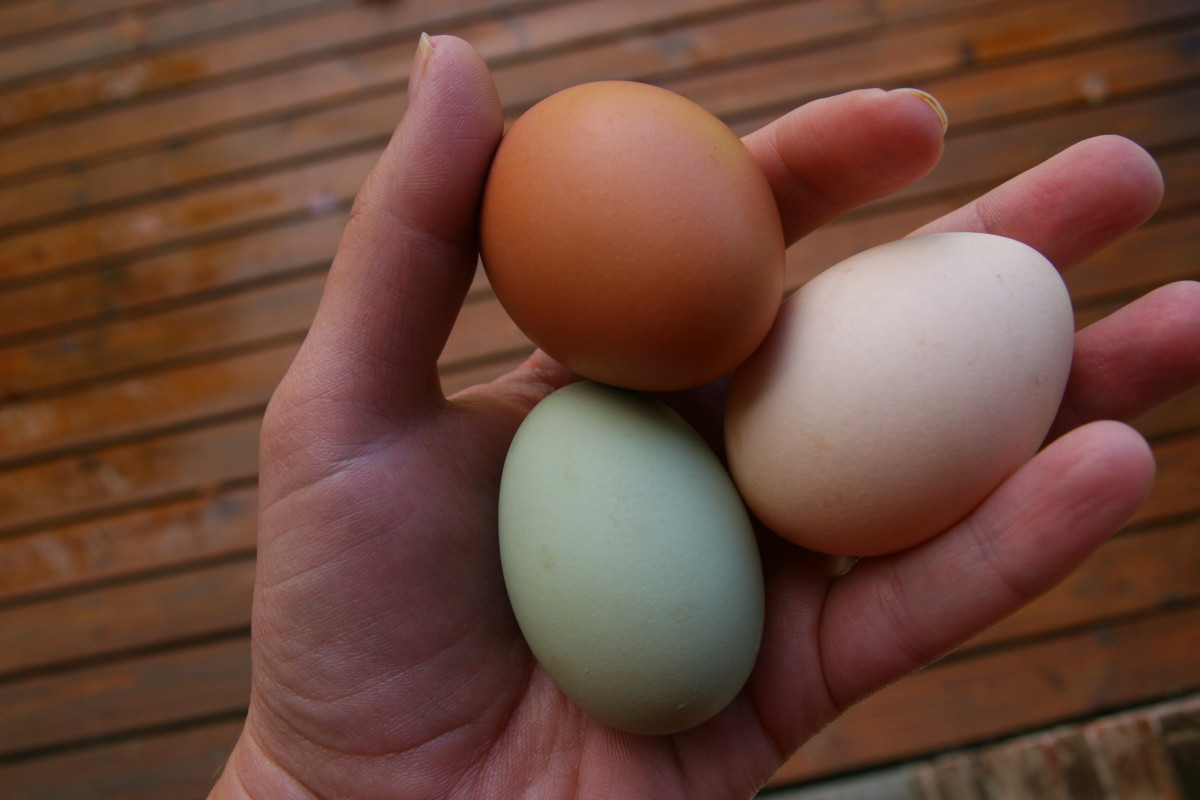 A flock may be selected to produce unusual egg colors. The blue egg is from an Easter Egger chicken, the dark brown egg is from a Barred Rock, and the light brown egg is from a Buff Orpington.