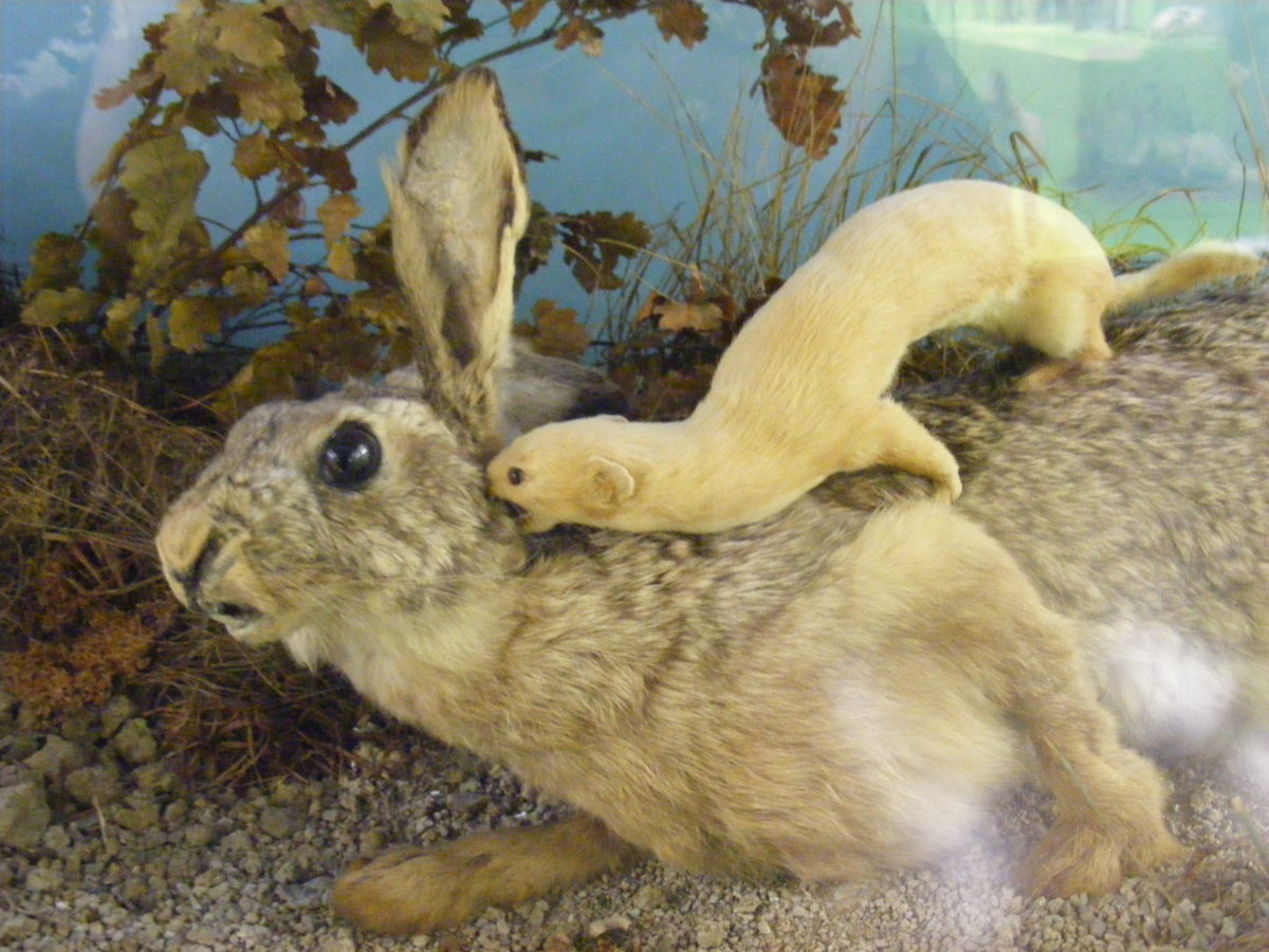 This taxidermy of a least weasel attacking a rabbit provides a visual of how minks kill large animals.