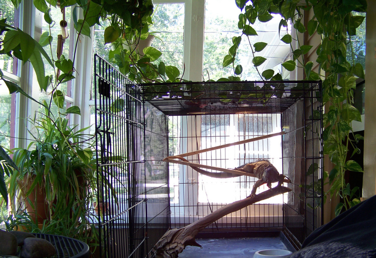 Interesting. Tell adult iguana cages