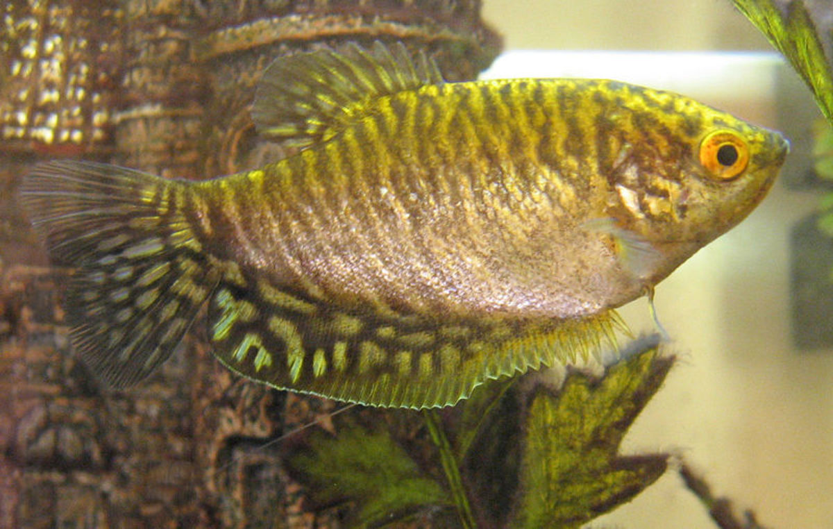 Gourami are beautiful fish with temperaments much too complex for a 10-gallon tank.
