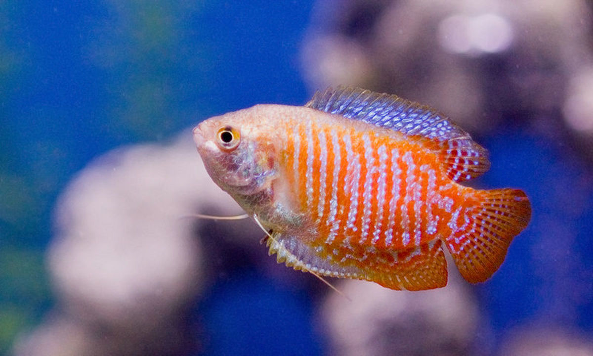 A pair of Dwarf Gouramis would look great in a 10-gallon tank!