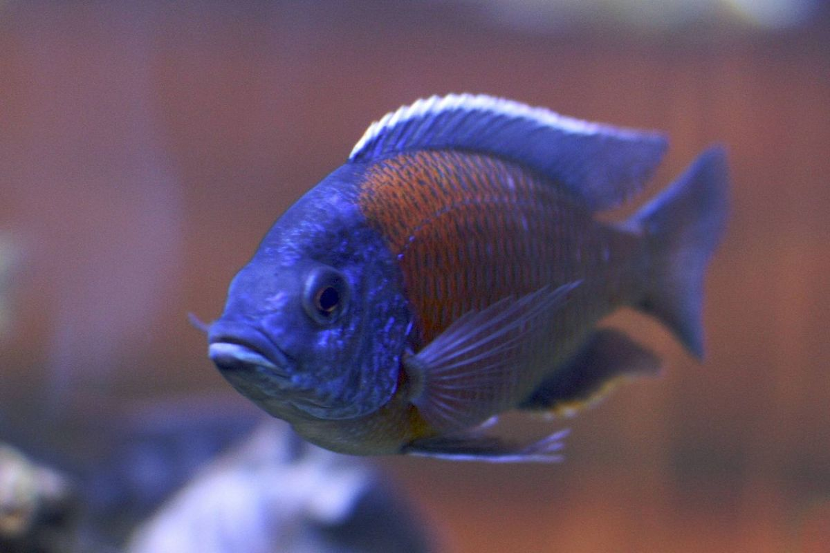 African Cichlids are too big, too aggressive and too complicated for a 10-gallon tank.