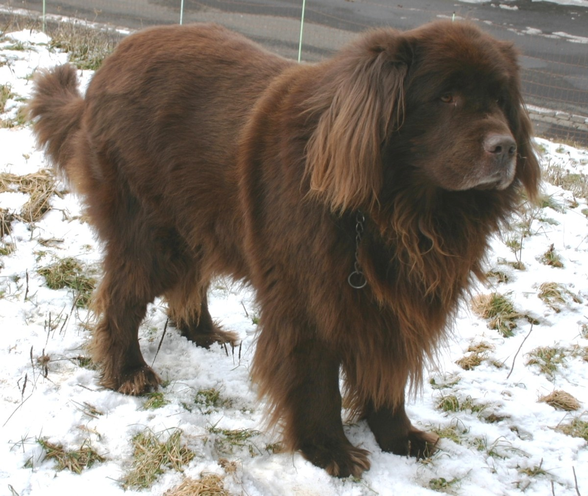 10-largest-dog-breeds