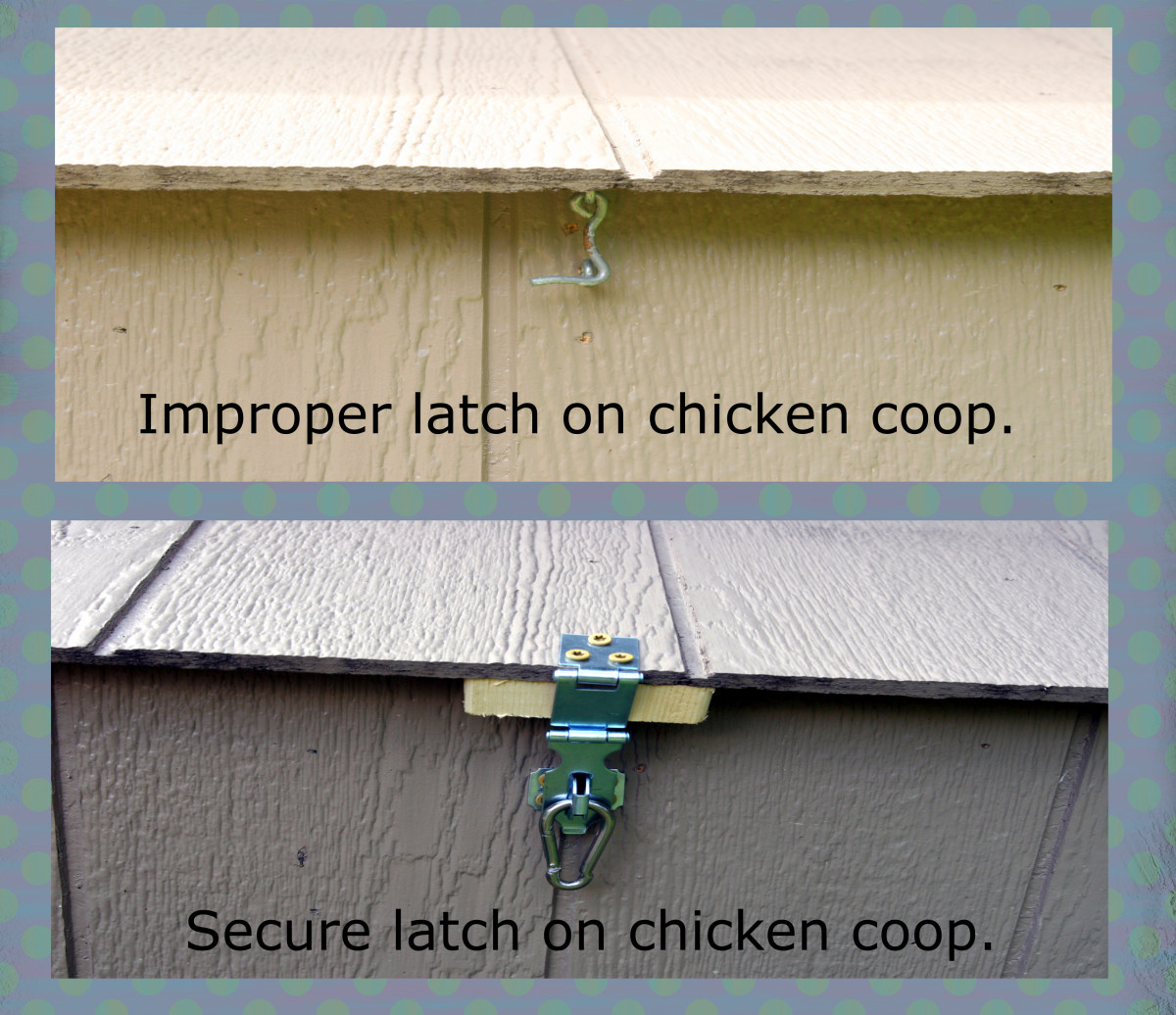 This chicken coop originally had a hook and eye-bolt style latch. A more secure latch was installed with a carabiner. This system will prevent raccoons from opening the latch and entering the coop.
