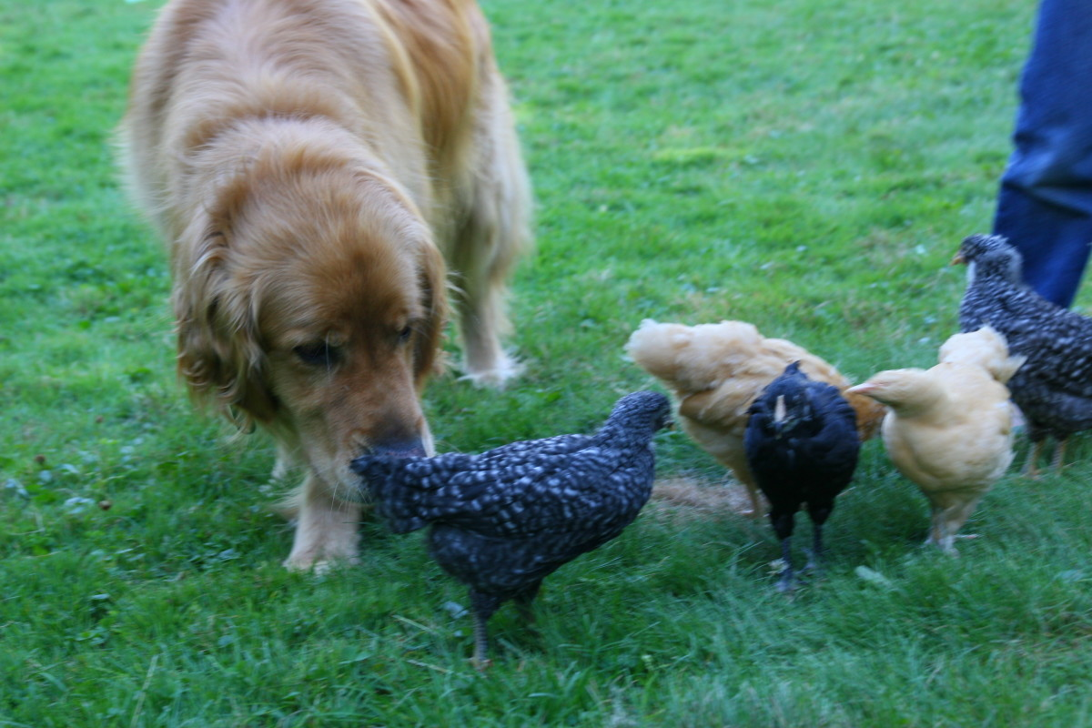 This Golden Retriever has been trained to protect its family's chickens.
