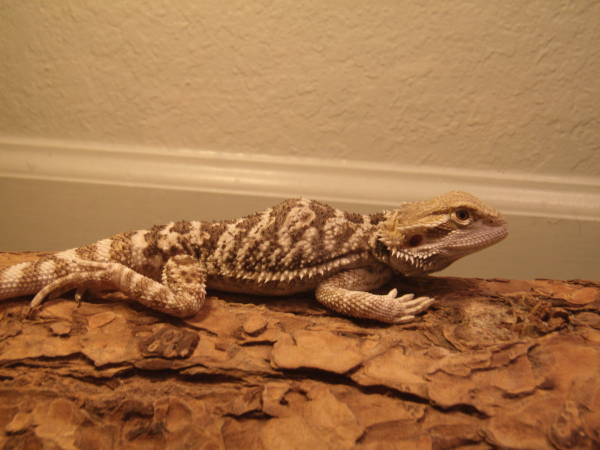 Baby dragon that broke his back and was paralyzed from the waist down.