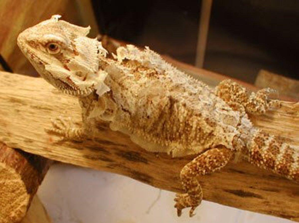 Adult dragon shedding.