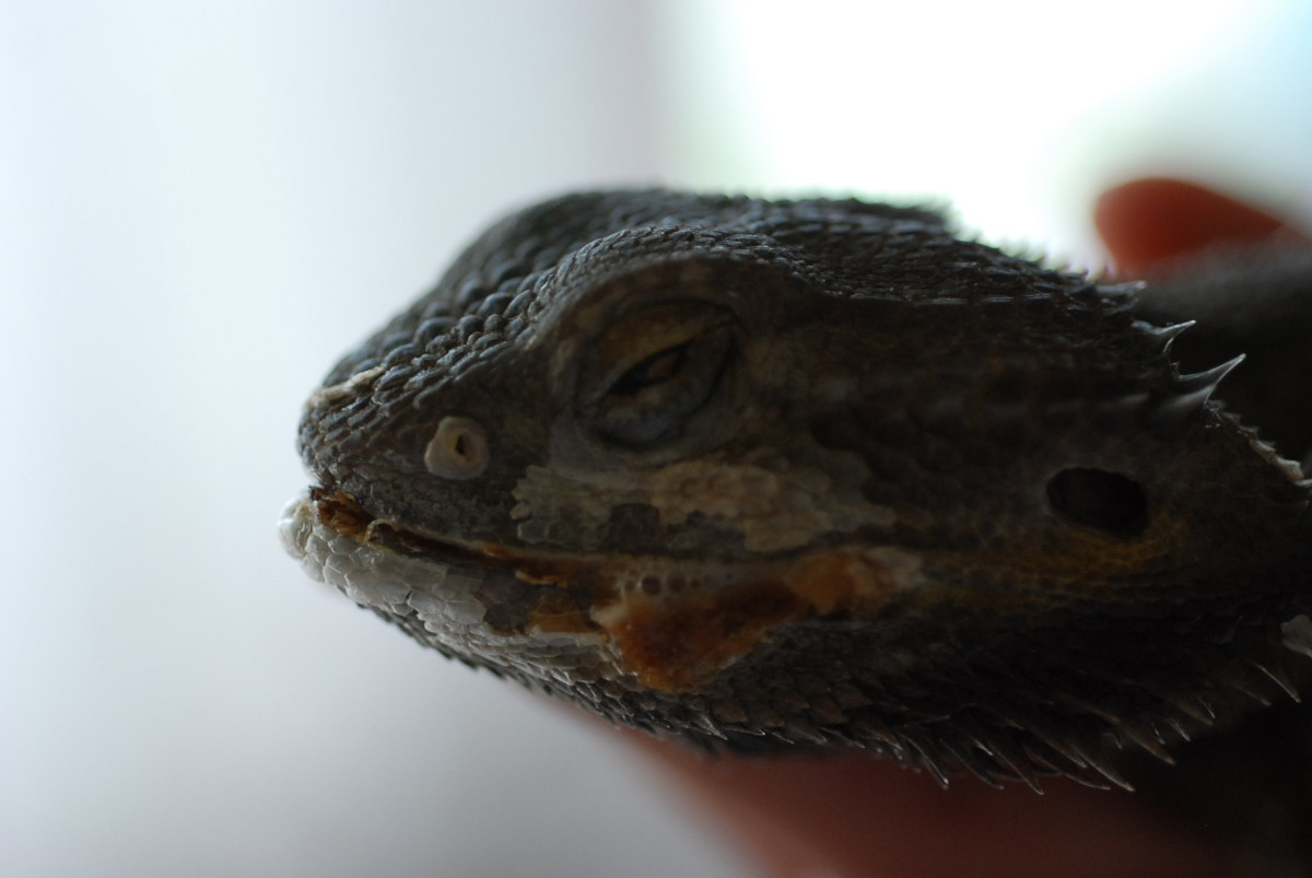 Mouth Rot in bearded dragons, this one also may have a case of MBD.