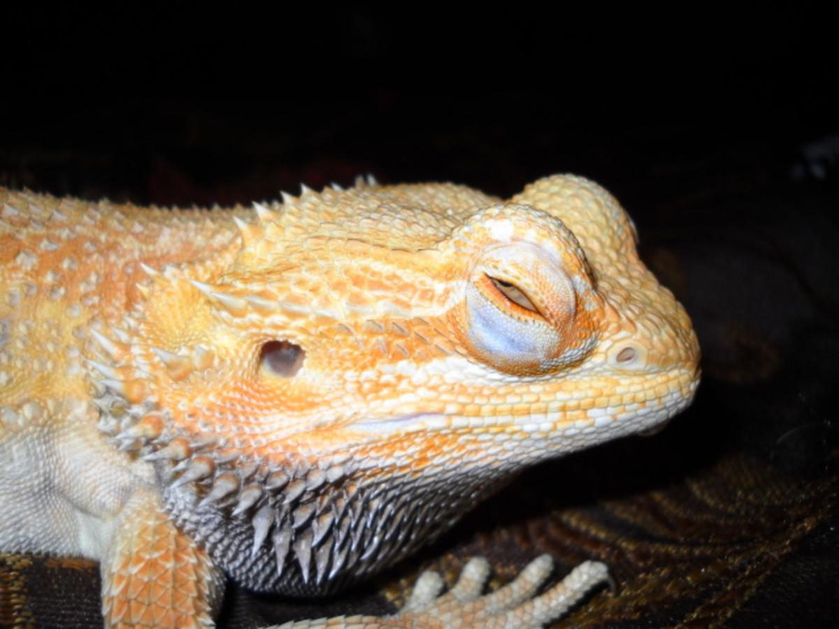 Swollen eyes in a dragon.