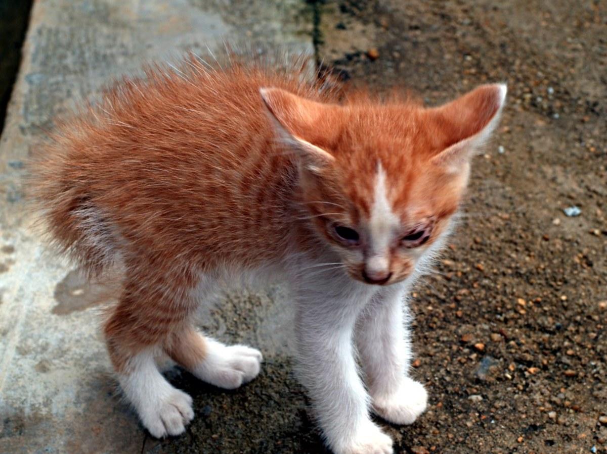 Kitten in the piloerection posture