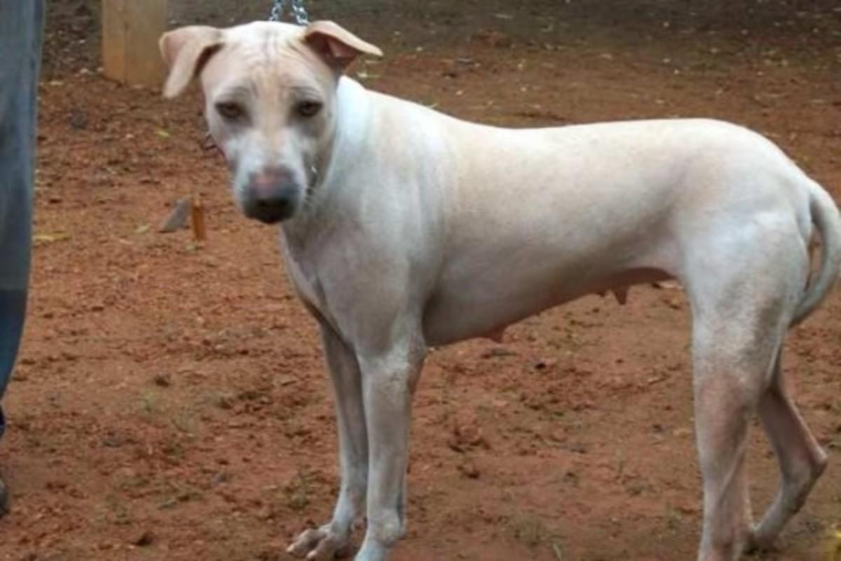 Indian Jonangi Dog
