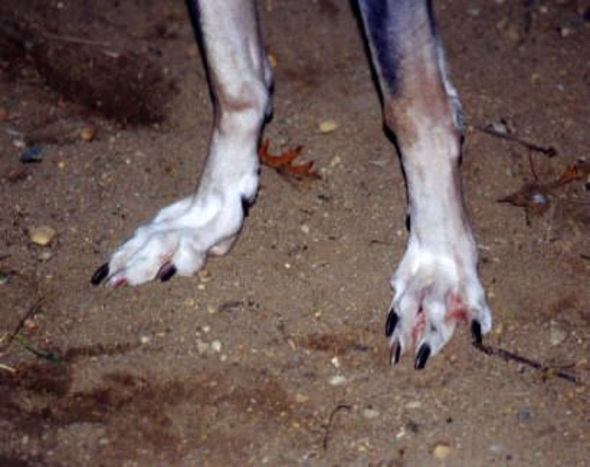 Paws of Rampur Greyhounds, That gives them a cat like balance and help them to walk on ledges.