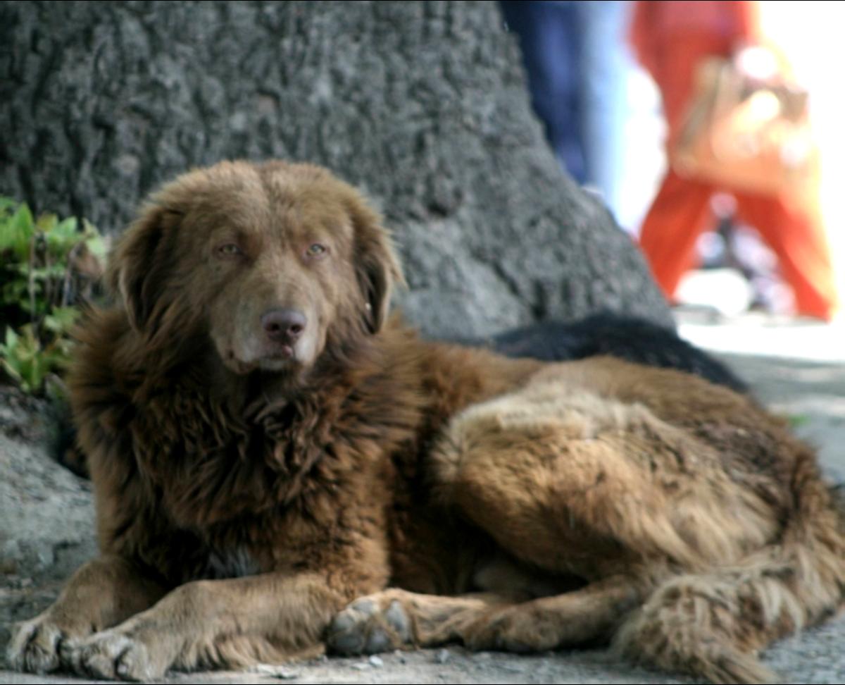 The Bakharwal Dog