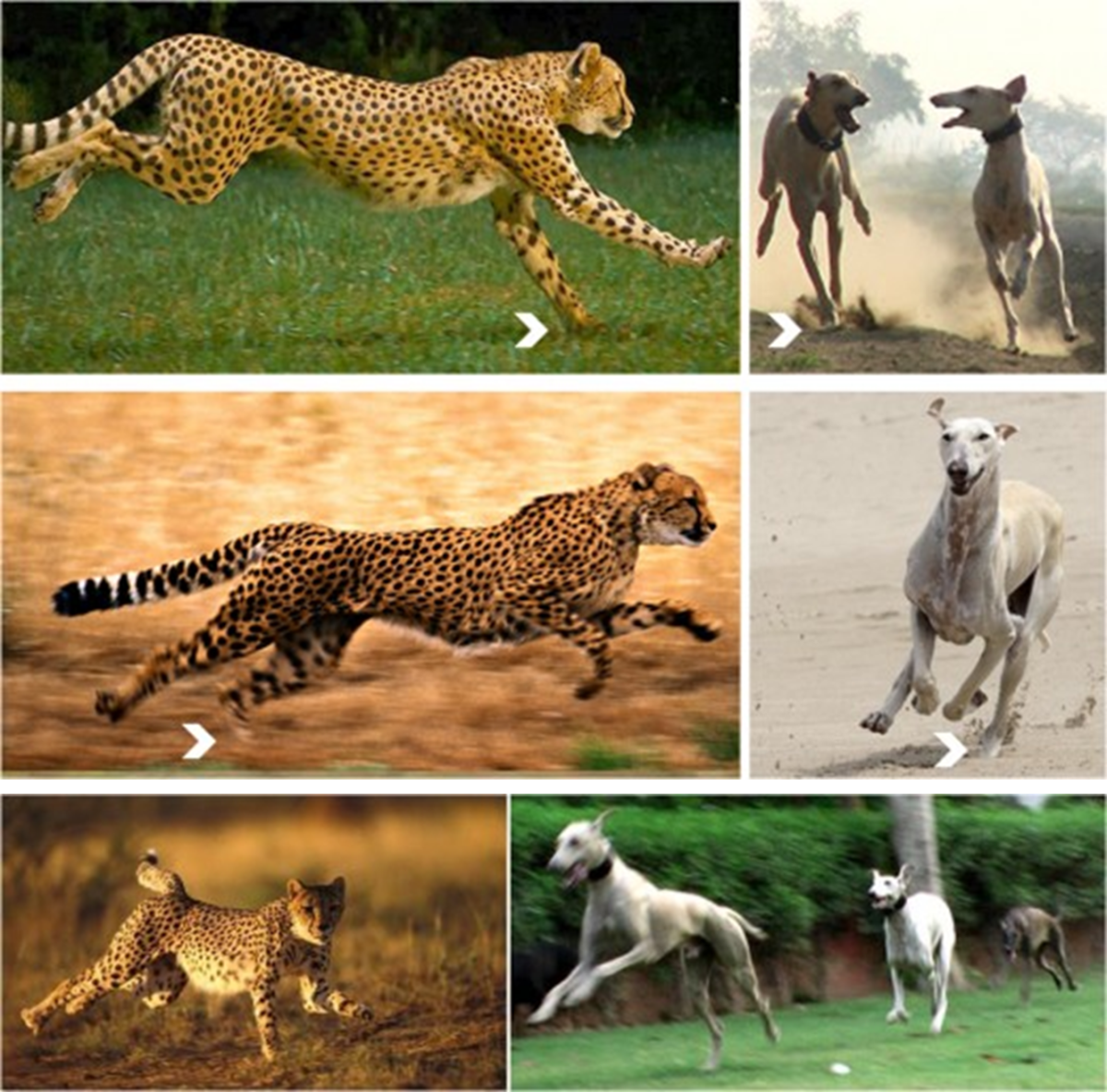 Cheetah and Caravan Hound Running Pattern