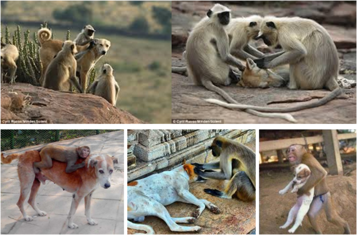 A stray Indian dog with monkeys.