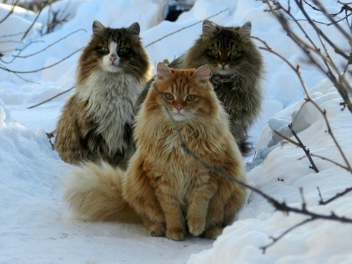 Three Norwegian Forest cats stand guard in the snow.