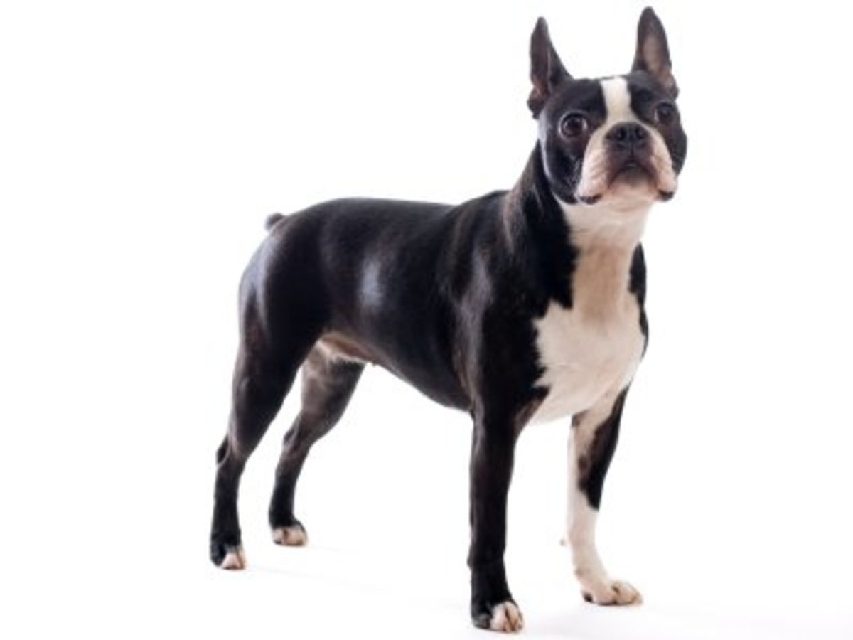 Boston Terriers with Tails!
