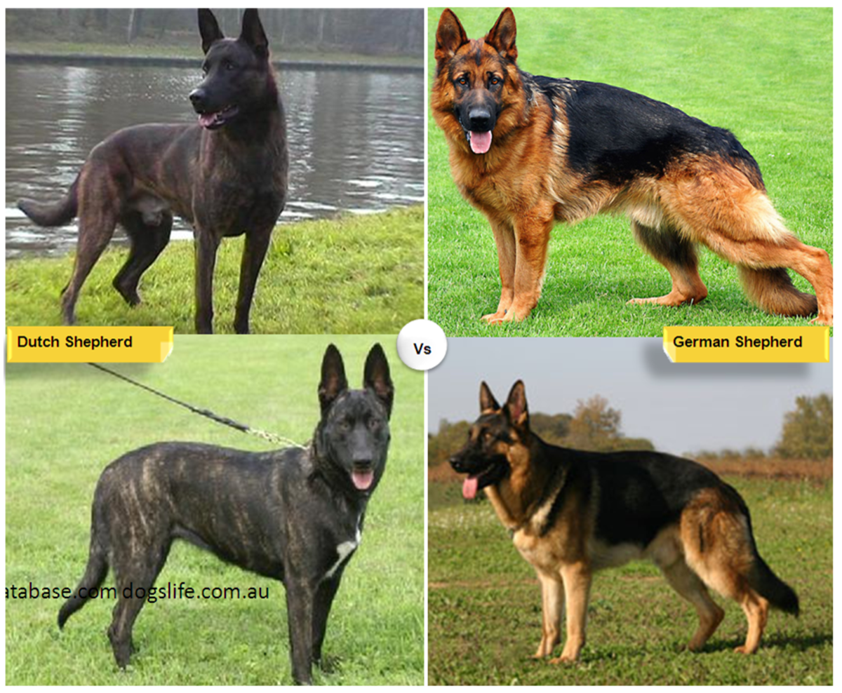 What Two Dog Breeds Make A German Shepherd