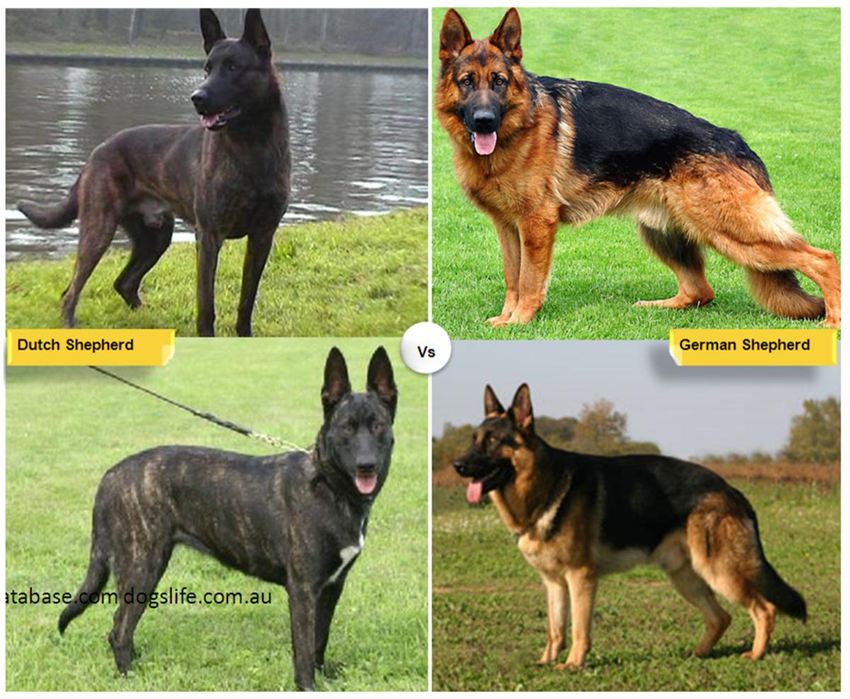 Dutch Shepherd vs. German Shepherd