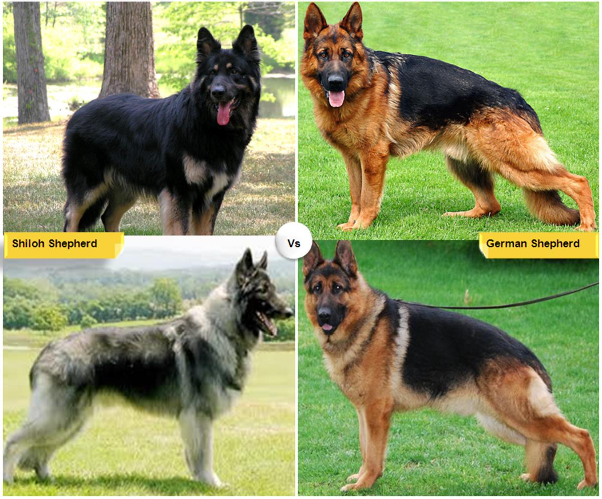 Shiloh Shepherd vs. German Shepherd