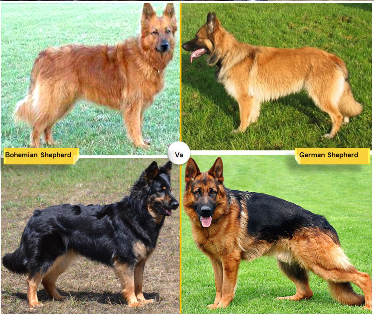 Bohemian Shepherd vs. German Shepherd