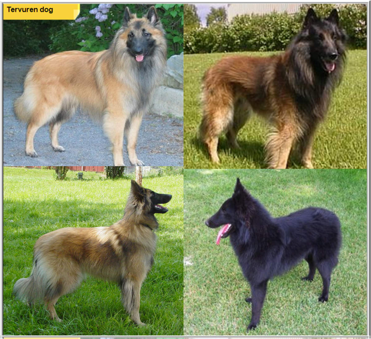 Pics For > Shiloh Shepherd Vs King Shepherd