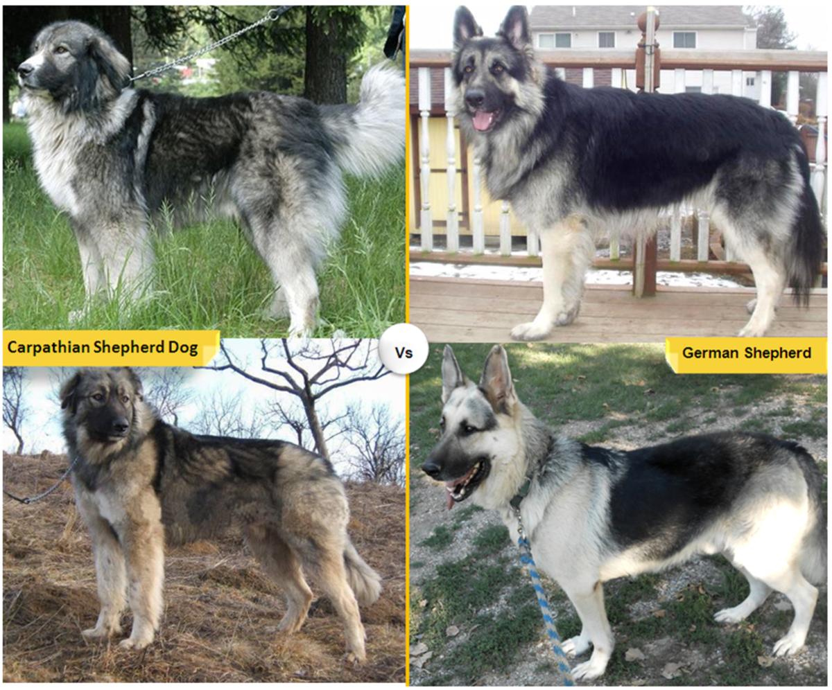 Carpathian or Romanian Shepherd vs. German Shepherd