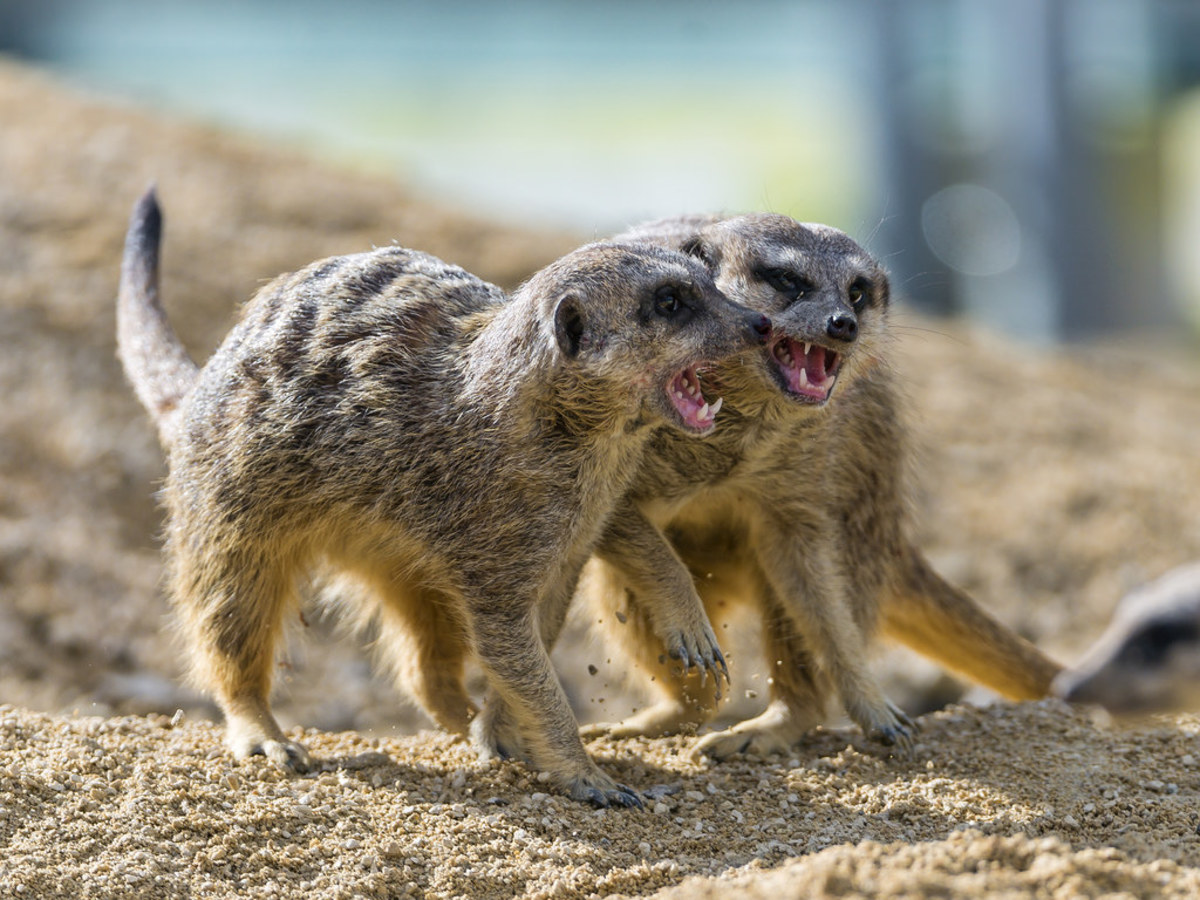 Meerkats also make 'bad pets' for the general public. They are rare in private ownership in the United States.