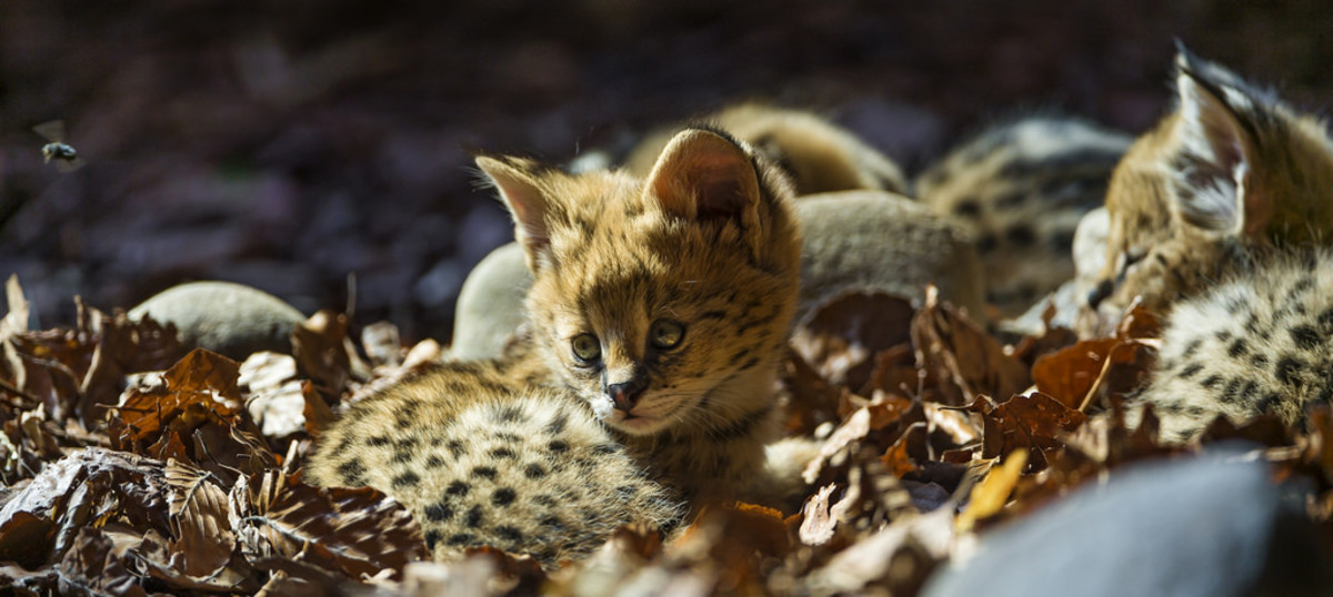 What some might consider a 'bad pet'. A baby serval.