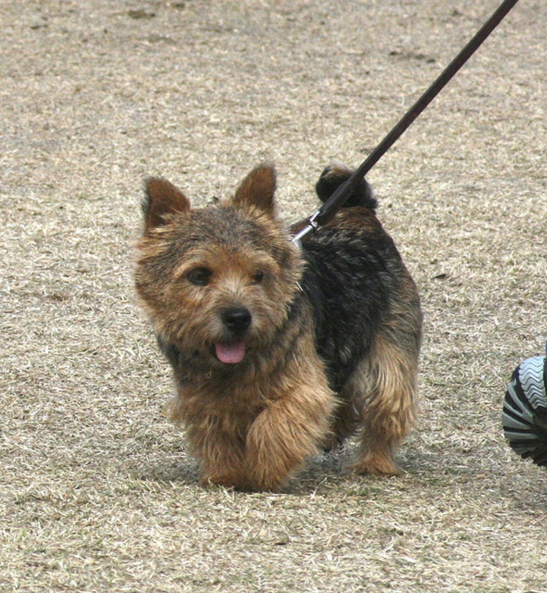 Toy Breed Dogs That Don T Shed | Dog Breeds Picture