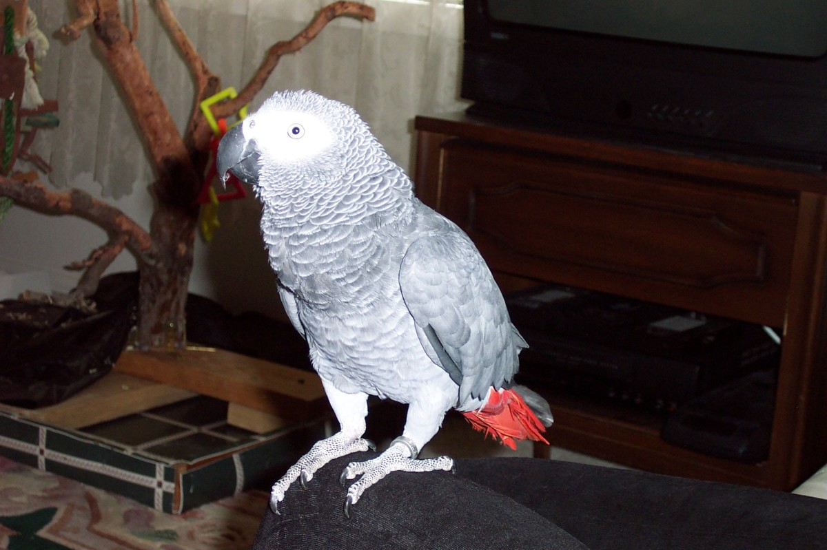 Image: African Grey Parrot Perched in Knee
