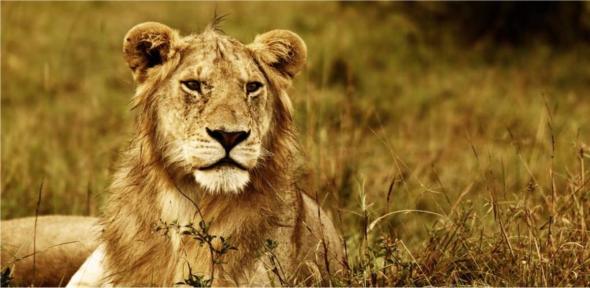 90 Lion Names & Meanings | PetHelpful