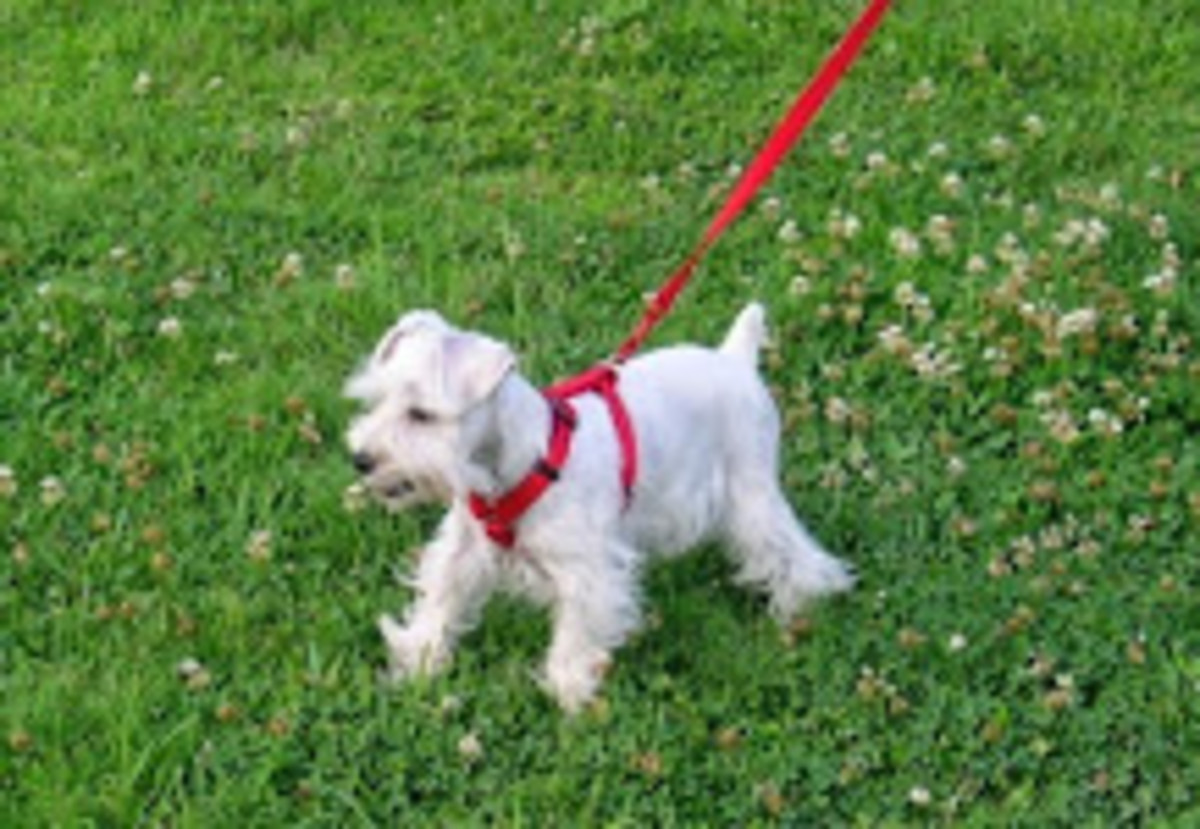 A Poem Of Love And Devotion For My Best Friend And Loyal Companion, My Miniature Schnauzer